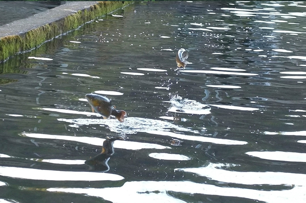 llac privat amb truites de riu